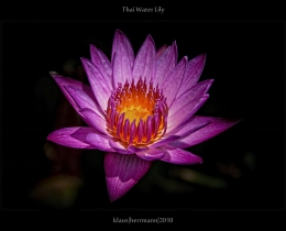 Thai Water Lily