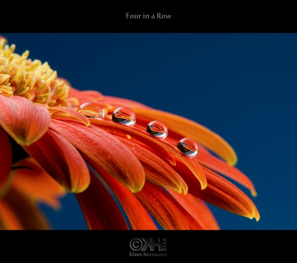 Marco of a gerbera with four little drops of water