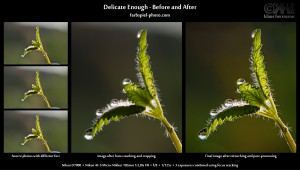 Delicate Enough - Before and After - 3-shot macro photo - created using focus stacking in Photoshop